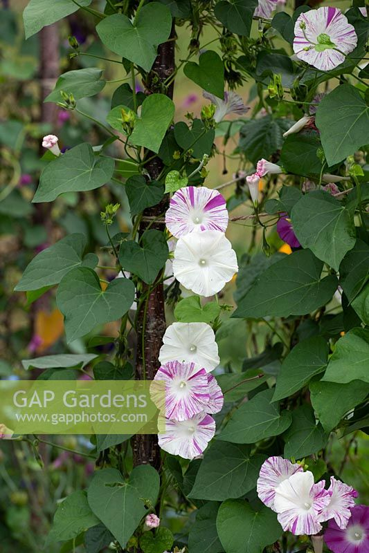 Ipomoea purpurea 'Venice pink' - Morning Glory