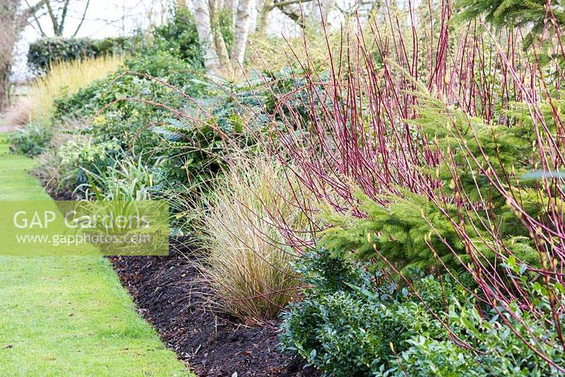 Winter border with red stems of Cornus alba 'Sibirica' and evergreens including Sarcococca, Mahonia and conifers at Ellicar Gardens, Doncaster, UK.