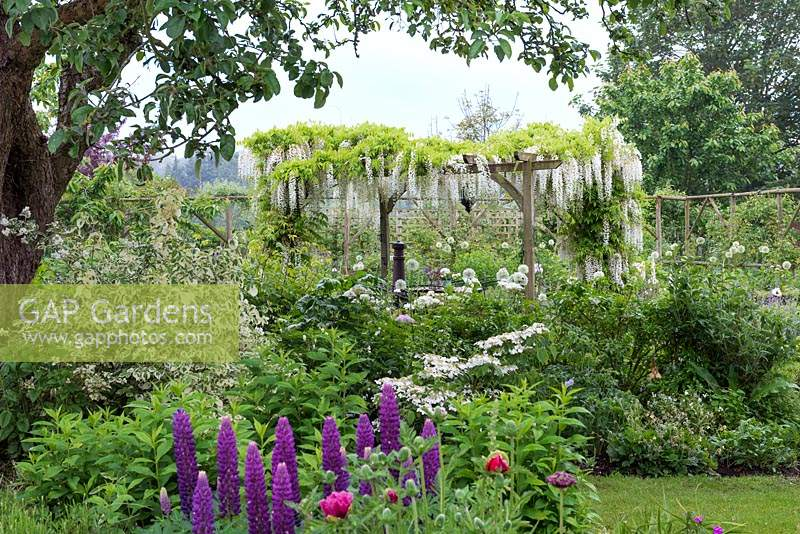 A pergola dripping with Wisteria floribunda 'Alba', a fragrant Japanese wisteria, and edged in borders of white flowers: alliums, poppies and lupins.