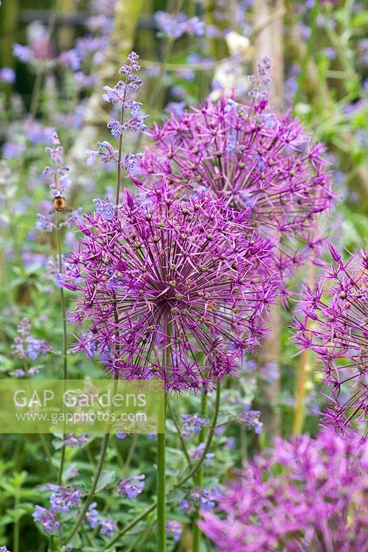 Allium 'Purple Rain' - Ornamental onion 'Purple Rain'