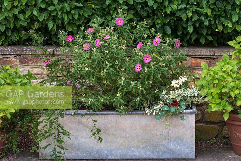 An old galvanised horse trough is planted with Cistus purpureus.