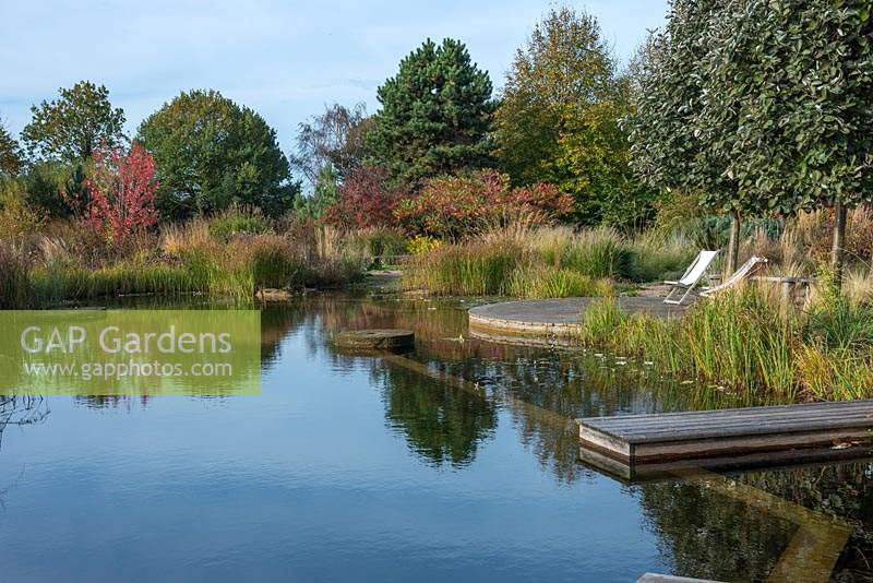 A natural swimming pool edged in Cyperus longus in autumn, with red leaf tints on maples, sumach and spindles.