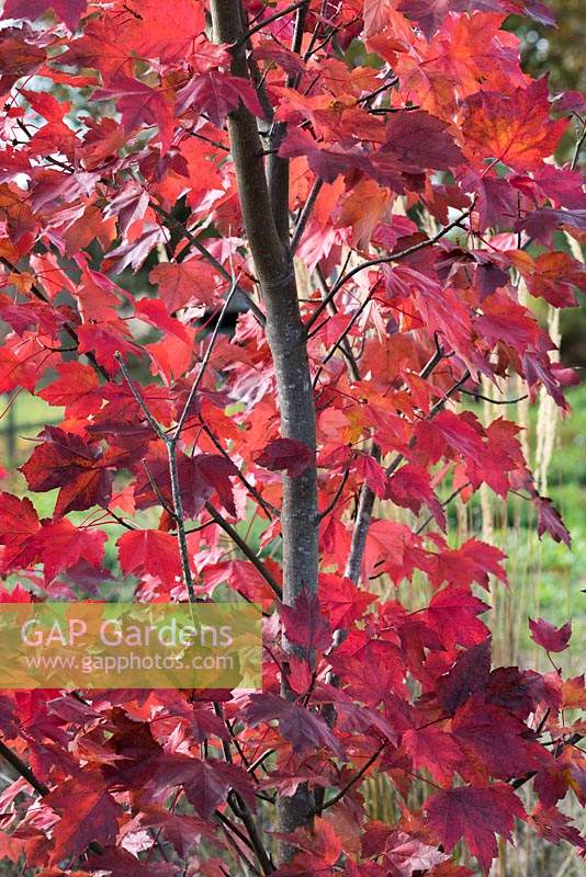 Acer rubrum 'October Glory', red maple, a medium sized deciduous tree with crimson foliage in autumn.