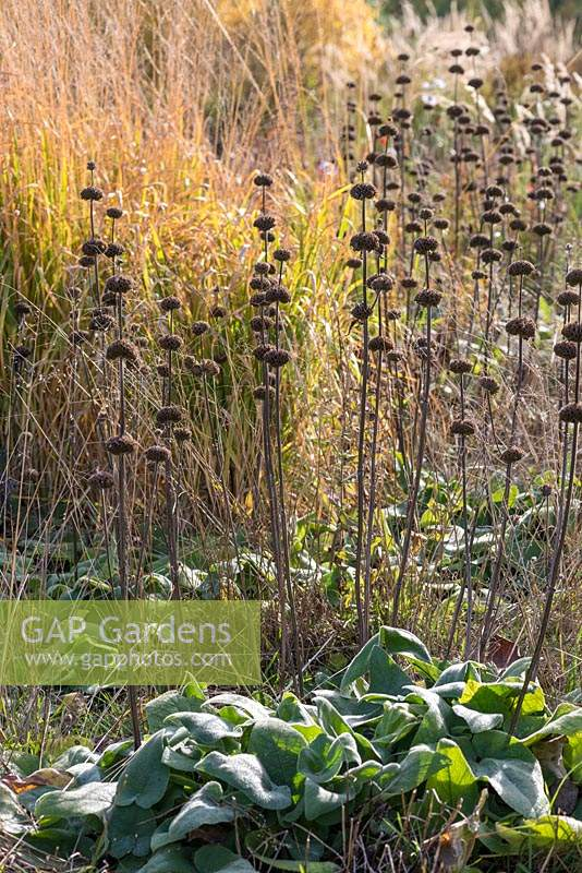 Phlomis russeliana, Turkish sage, bearing whorls of soft yellow flowers which fade to handsome brown seedheads, adding structure in autumn and winter.