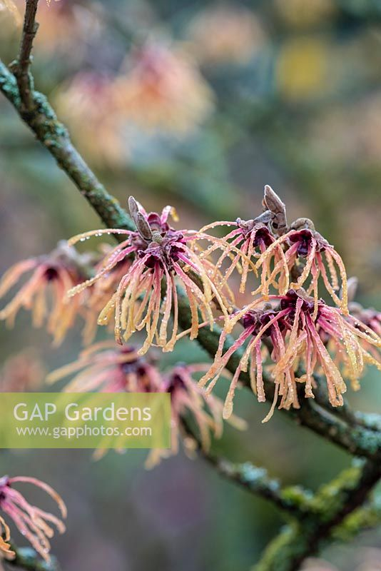 Hamamelis x intermedia 'Aurora' - witch hazel. A small deciduous tree bearing bright, spidery and fragrant flowers in winter