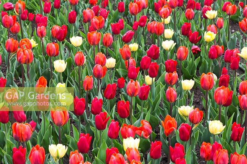 'Hermitage', 'Ruby Prince' Single Early Group and Double Early Group 'Foxy Foxtrot' Tulipa - Tulip flowers