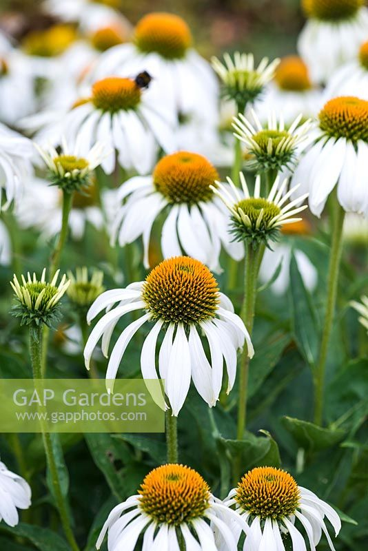 Echinacea purpurea 'White Swan', coneflower, a perennial bearing lots of white petalled flowers with tall central cones, a magnet to bees and butterflies. Flowers from July.