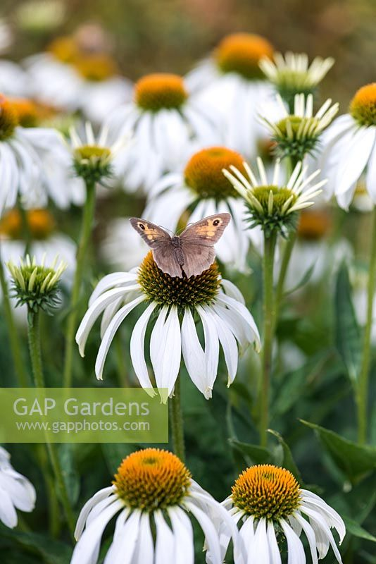 A small Meadow Brown butterfly perches on a white coneflower, Echinacea purpurea 'White Swan'.