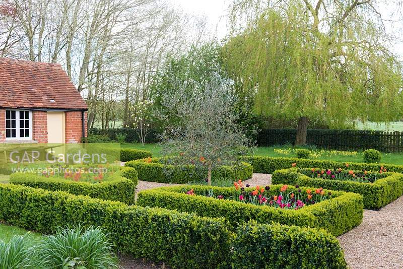 A box parterre with gravel paths separating beds planted with Tulipa 'Paul Scherer', 'Ballerina' and 'Doll's Minuet' with an olive tree in the centre