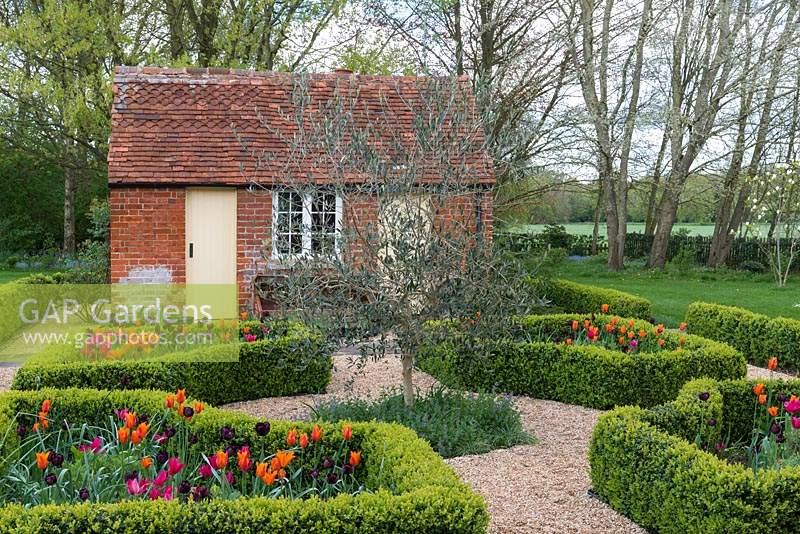 Laid out between old brick outbuildings, a box parterre with gravel paths separating beds planted with Tulipa 'Paul Scherer', 'Ballerina' and 'Doll's Minuet' with an olive tree in the centre
