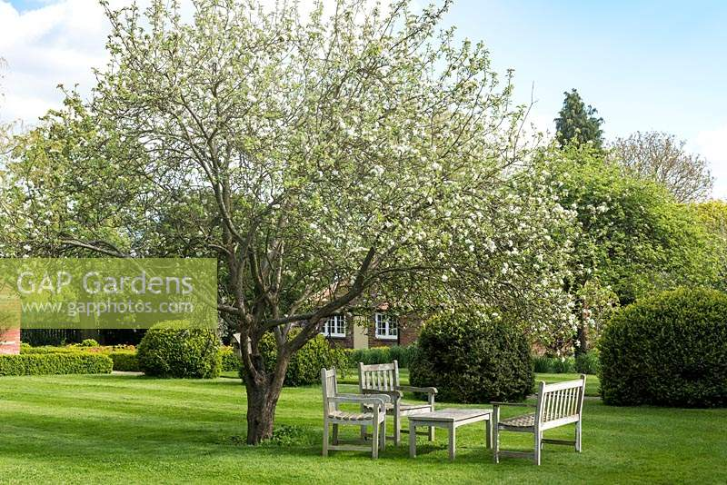 An old  Worcester Pearmain apple tree is in blossom above a seating area on the lawn.