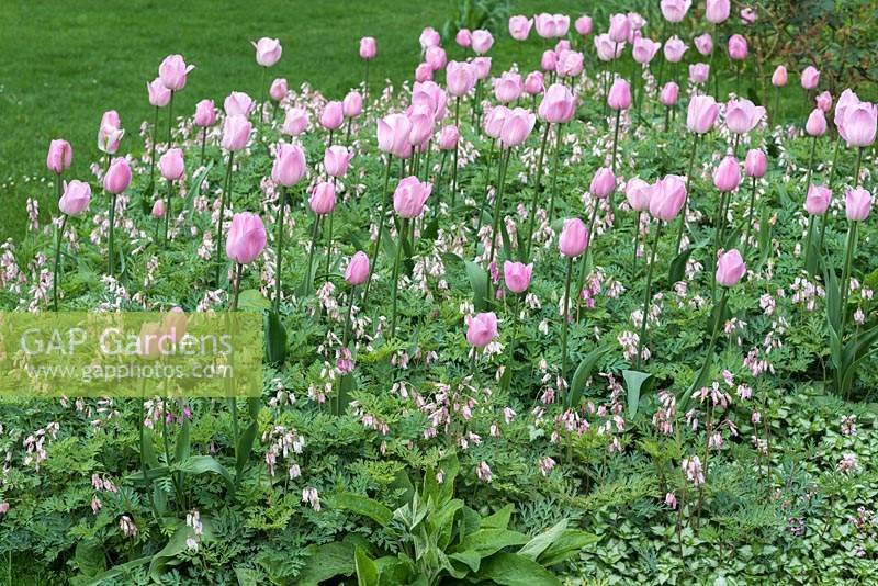 Tulipa 'Rosalie' rising above ground cover of Dicentra formosa - Common bleeding heart.