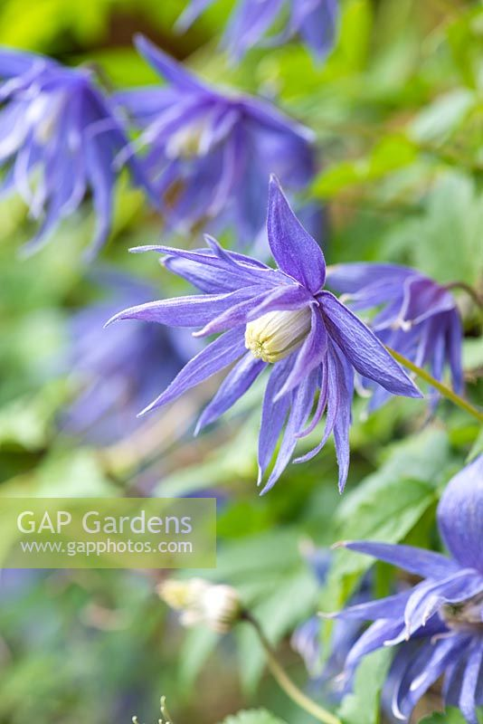 Clematis macropetala 'Lagoon', a deciduous climber bearing lots of double, violet blue flowers from April.