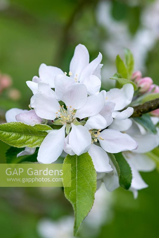 Malus - Blossom from an old 'Worcester Pearmain' apple tree.