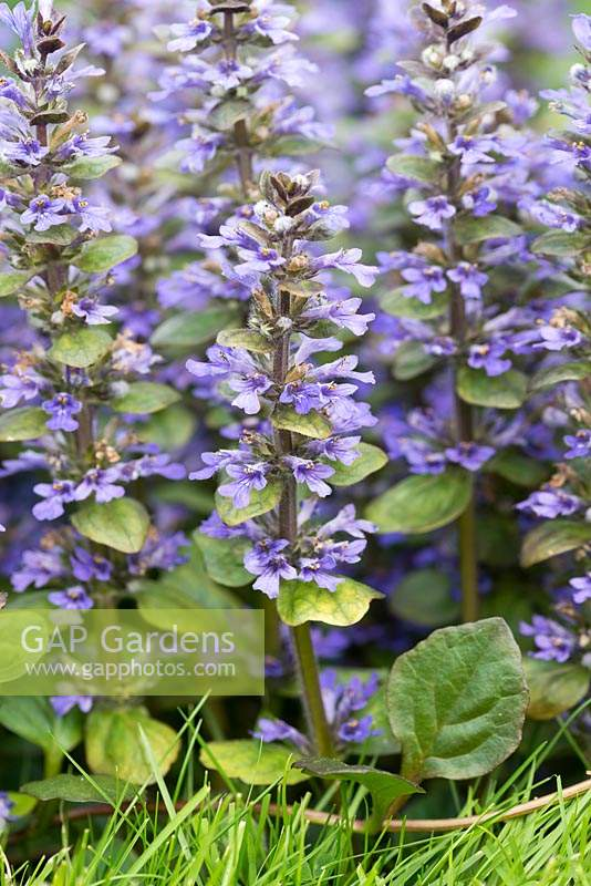 Ajuga reptans - Bugle, a creeping perennial that sends up blue spikes of flowers from April.
