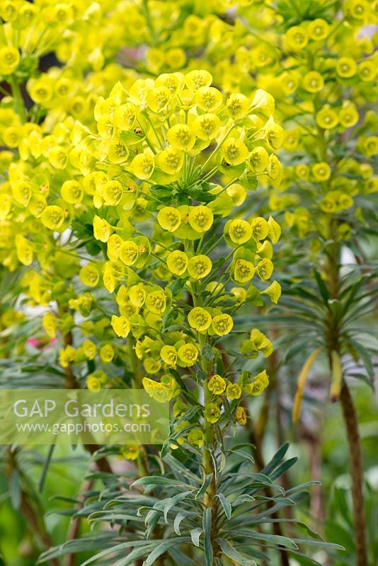 Euphorbia characias - Milkweed or Spurge, an upright evergreen shrub with biennial shoots and stems of luminous green flowers from early spring.