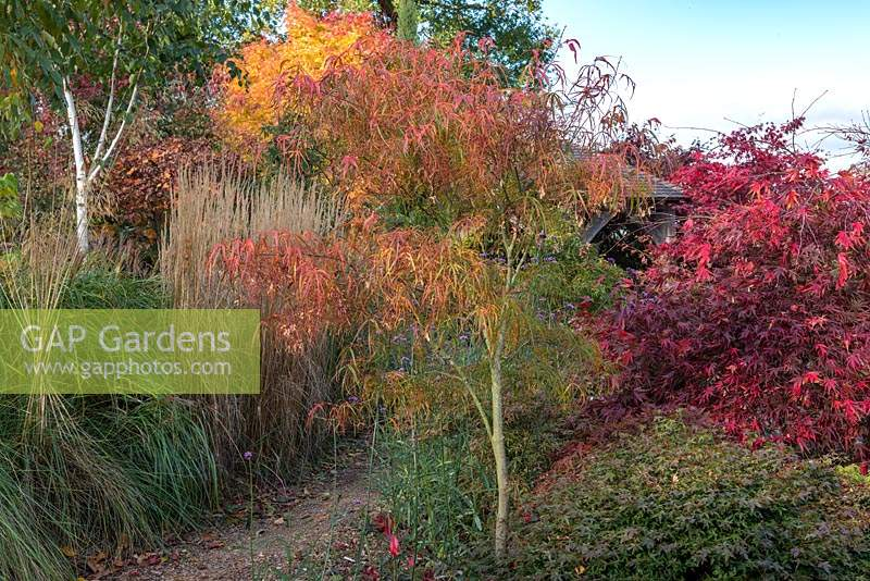 Acer palmatum 'Koto no ito', Japanese maple, beside a gravel path.
