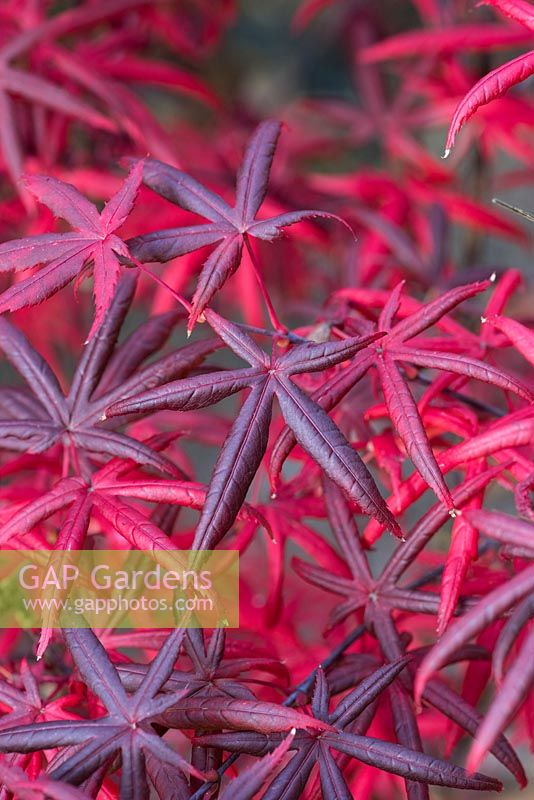 Acer palmatum 'Starfish', a Japanese maple, named for the distinctively shaped leaves which turn a deeper red in autumn.