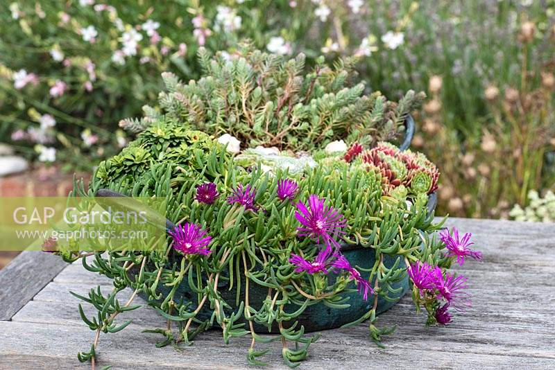 Vintage copper bowl planted with Delosperma cooperi, sempervivum and saxifrage.