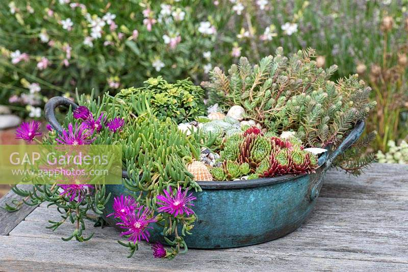 Vintage copper bowl planted with Delosperma cooperi, Sempervivum and Saxifrage