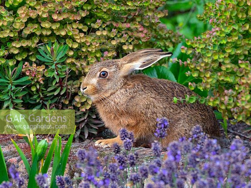 Young Brown Hare Lepus europaeus in flower border