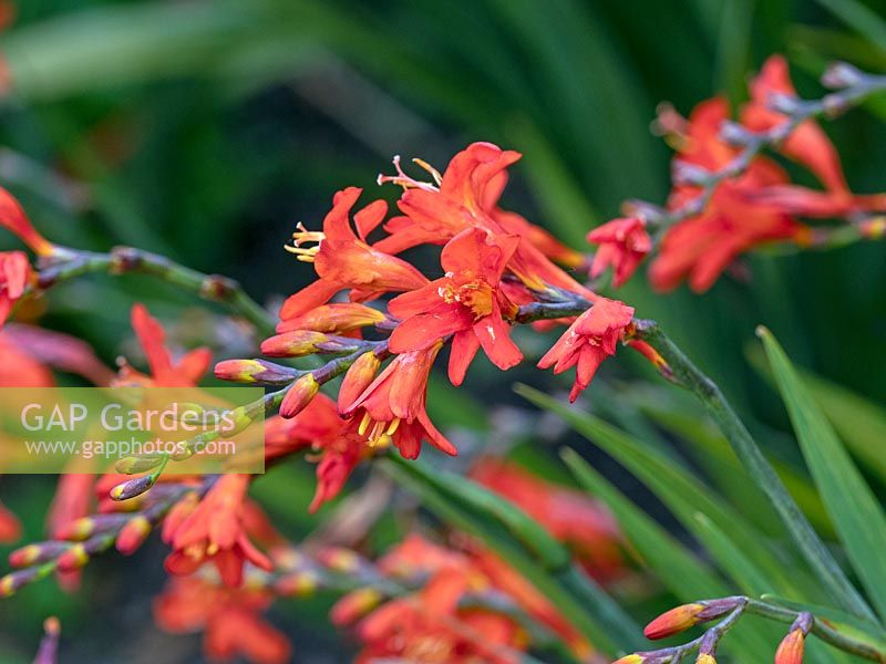 Crocosmia 'Old Hat'