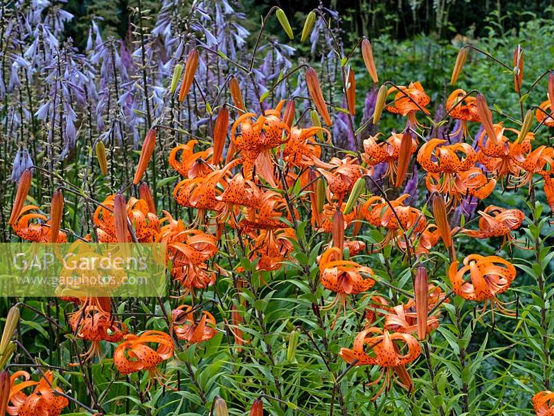 Lilium lancifolium 'Tiger lily' in garden border early August in Norfolk UK