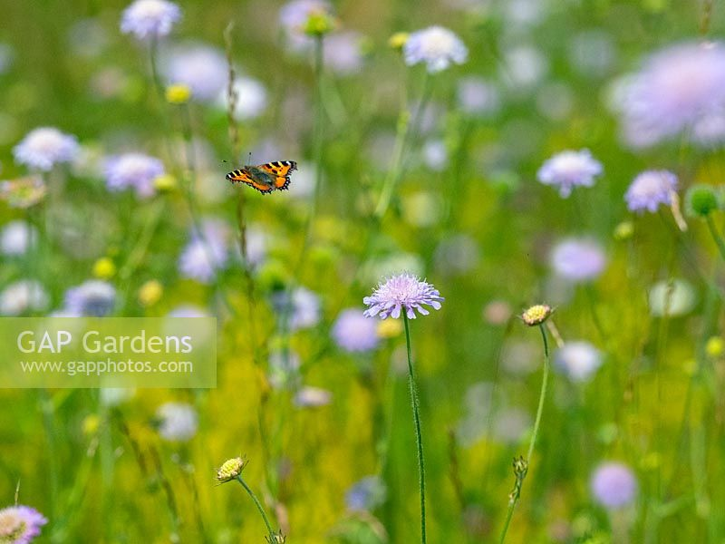 Small Tortoiseshell butterfly feeding on wild flowers in hay meadow Wensum Valley, Norfolk UK.