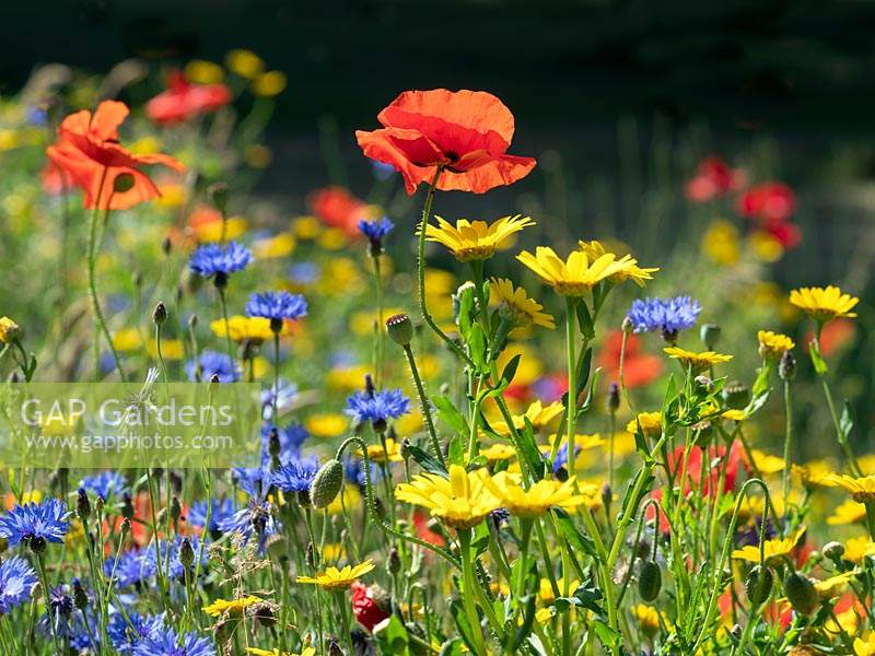 Glebionis segetum 'Corn Marigold', Centaurea cyanus 'Cornflower', and Papaver rhoeas 'Poppies' in hay meadow in Norfolk, UK.
