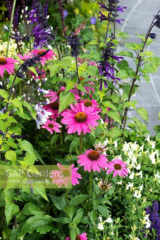 Echinacea purpurea 'PowWow Wild Berry' and Salvia amistad - Purple Coneflower and sage in a garden border