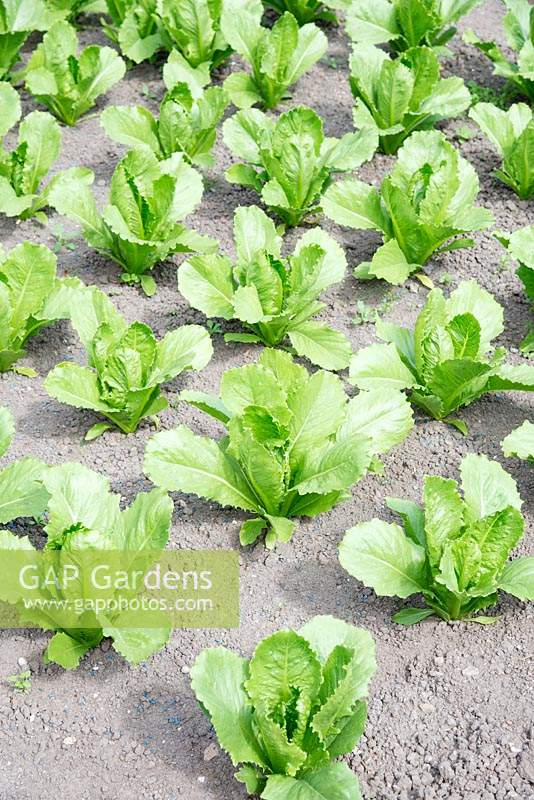 Lactuca sativa  'Sweet Success' - Lettuce
