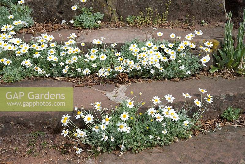 Sandstone steps with Anthemis punctata