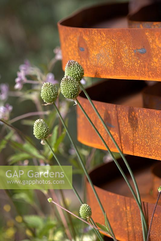 Allium sphaerocephalon and Anemone rivularis by corten steel structure.