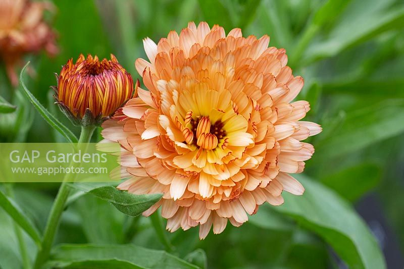 Calendula officinalis 'A Touch of Red' - English Marigold - June