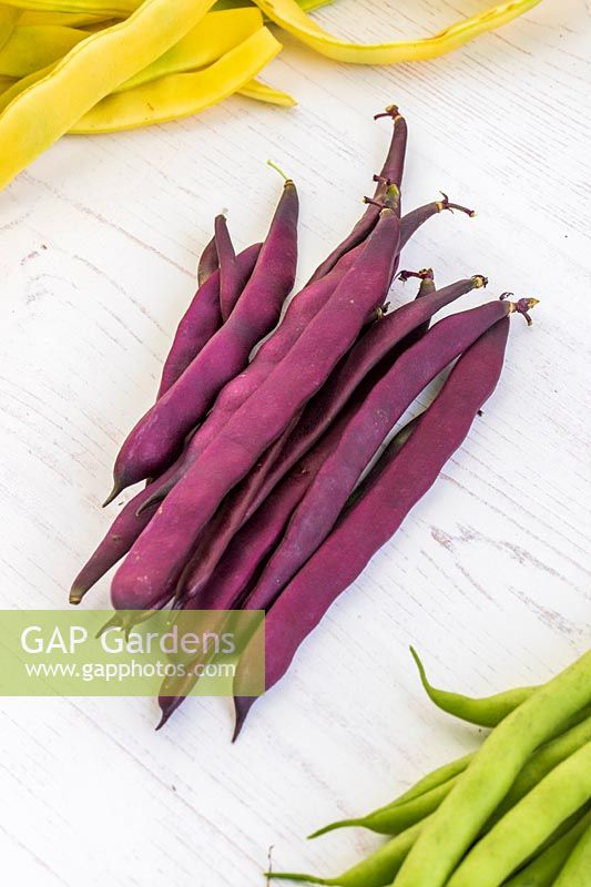 Harvested Climbing Bean 'Cosse Violette'.