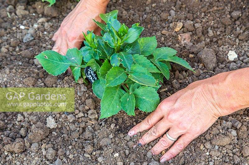 Woman firming the soil around Dahlia 'Seniors' Hope' after planting