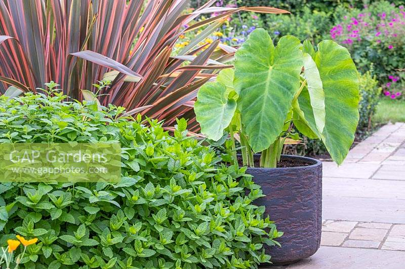 Colocasia coco growing in a container