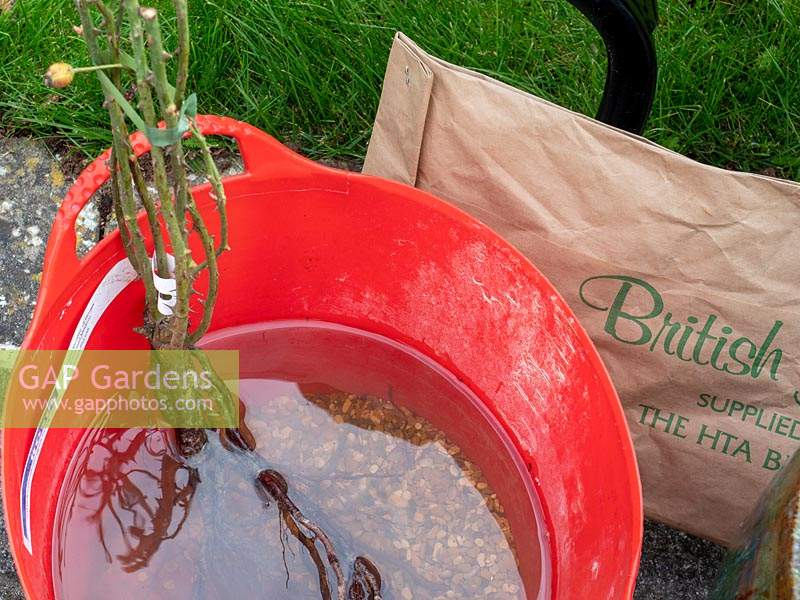 Planting bare rooted rose into pot - step by step.  Rosa Dusky Maiden - Tea and old hybrid tea rose - Soak roots in water for at least an hour before planting, after receipt.