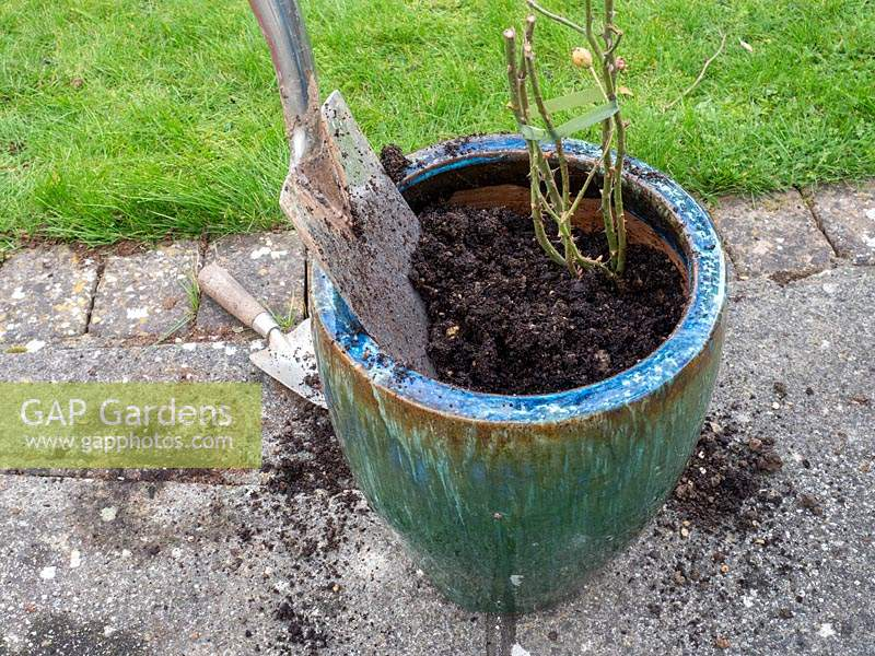 Planting bare rooted rose into pot - step by step. Rosa Dusky Maiden - Tea and old hybrid tea rose - back fill with soil, compost, grit mix.