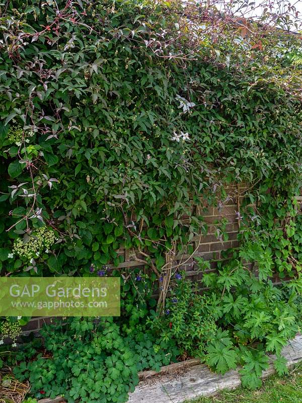 Clematis montana - Pruning, cutting back, maintenance.  Major prune of clematis soon after flowering in spring.   Overgrown climber being cut right back to wall, trellis support.