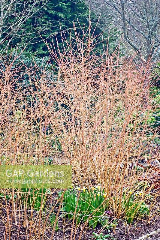 Cornus sanguinea 'Winter Beauty' - Dogwood - in a bed with Narcissus - Daffodil