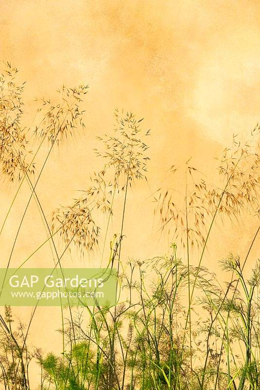 Grasses outlined against an ochre coloured wall at the RHS Hampton Court Palace Garden Festival 2019. Sponsors: Wienerberger, Majestic Trees, Quick Hedge, Allgreen Group, WowGrass.