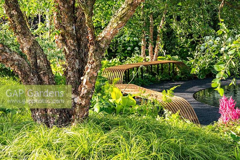 Contemporary curved, slatted wooden benches and multi-stemmed Betula trees underplanted with foliage plants in a green, naturalistic style garden. RHS Hampton Court Palace Garden Festival 2019. Sponsor: Smart Energy GB.
