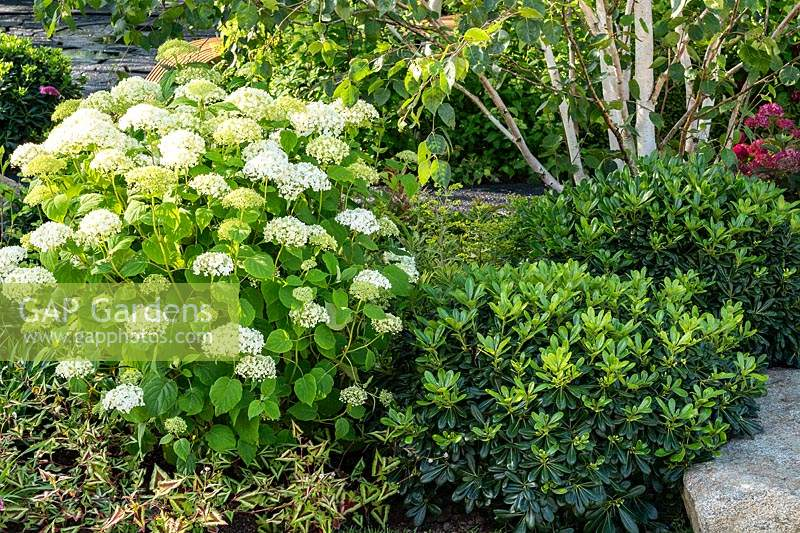 Hydrangea and Pittosporum shrubs. The Smart Meter Garden designed by Matthew Childs at the RHS Hampton Court Palace Garden Festival 2019. Sponsor: Smart Energy GB.