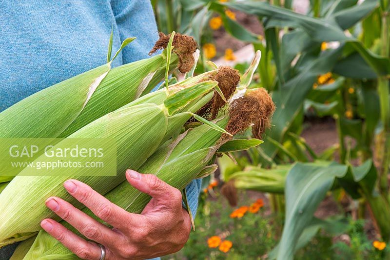 Woman carrying bundle of harvested Sweetcorn 'Tyson' cobs