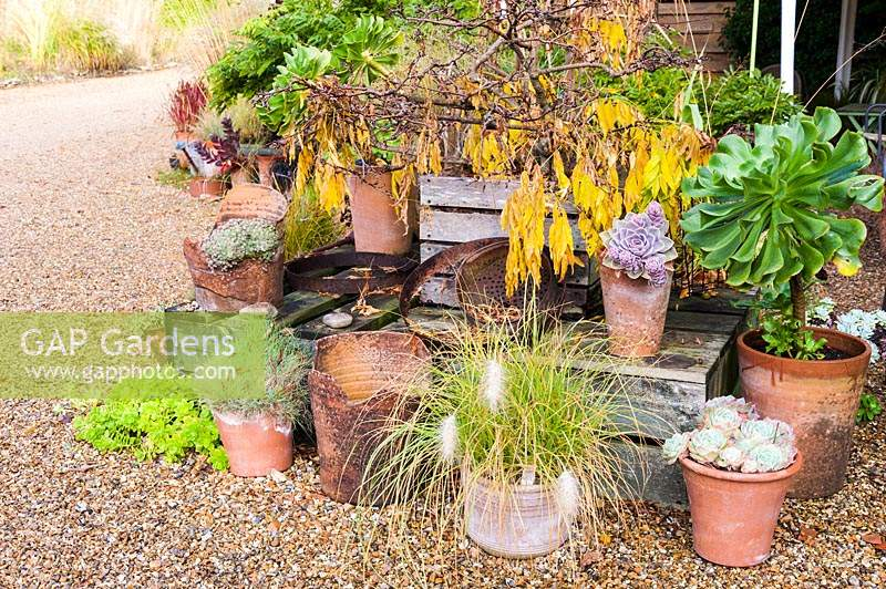 Decorative arrangement of pots  with Aeonium arboreum and echeverias, and grasses at Knoll Gardens in autumn