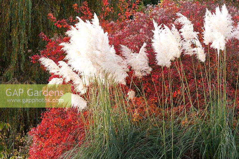 Feathery flower plumes of miscanthus in front of foliage turning red in autumn at Marks Hall.