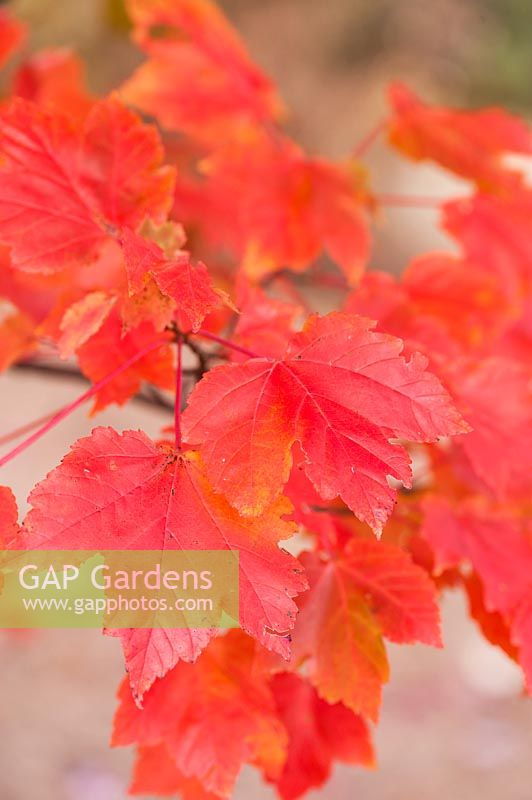 Acer rubrum 'October Glory'.