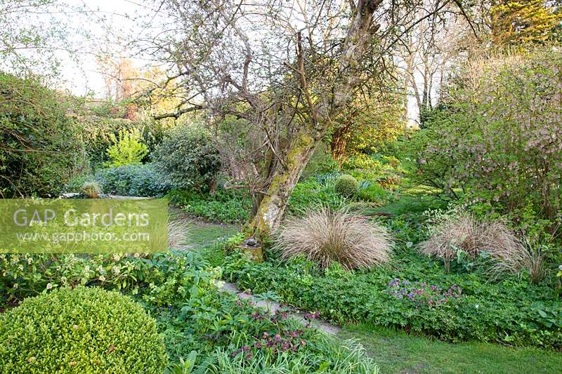 View across informal beds with old tree underplanted with: Helleborus, Pulmonaria, Skimmia, Ribes sanguineum and Stipa arundinacea - Pheasants Tail Grass