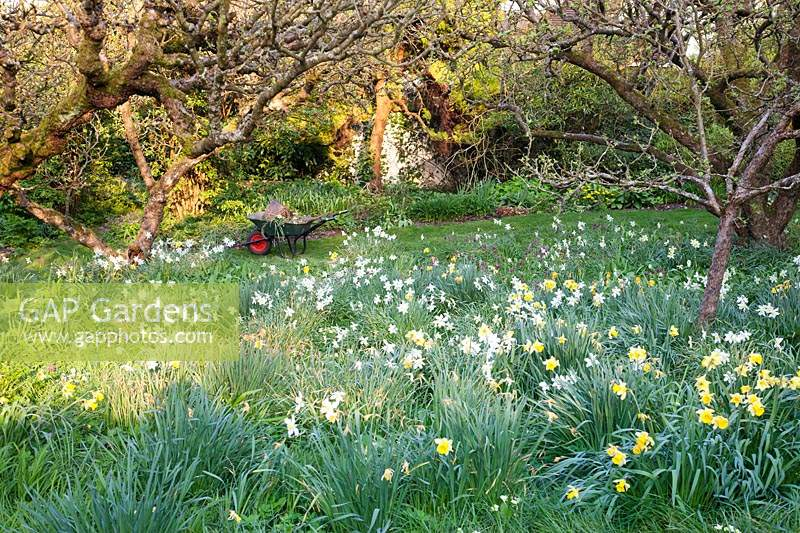 Wheelbarrow in spring orchard surrounded by mixed Daffodils:  Little Court, Hampshire, UK